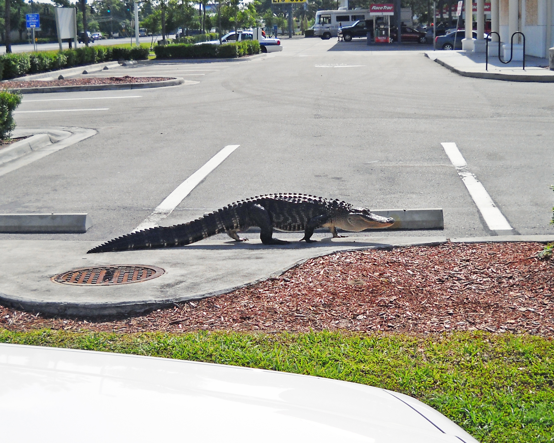 Nine foot parking space equals eight foot alligator.
